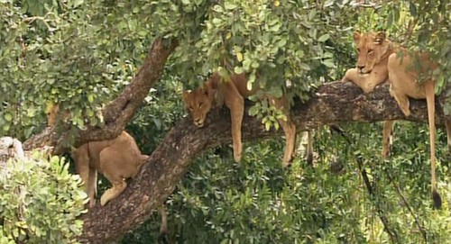 Lions_Tree_H.jpg