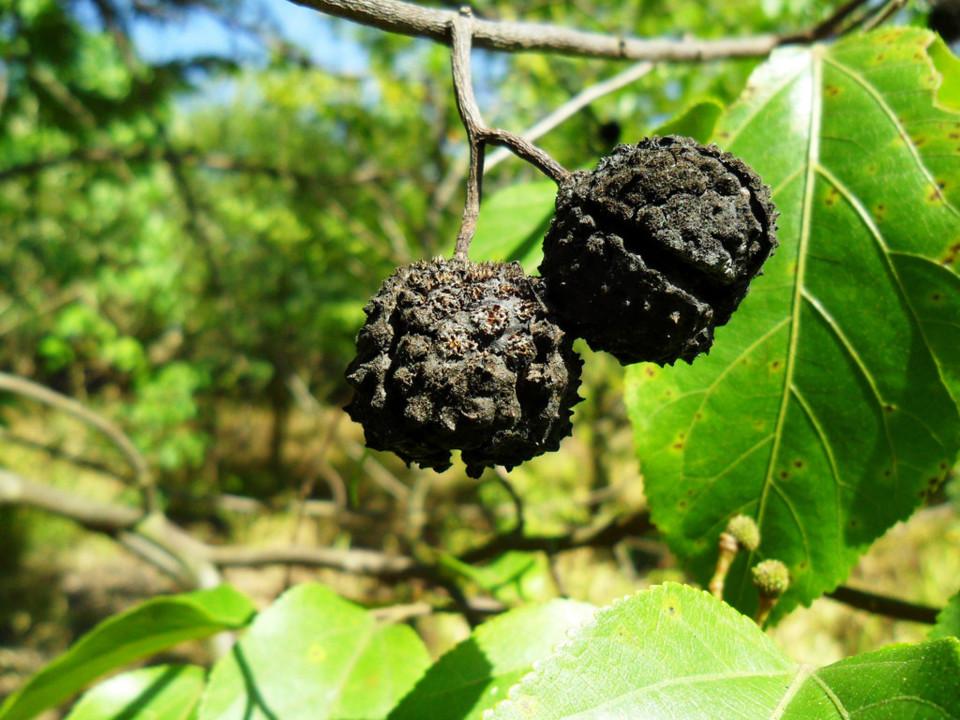 mutambo-guazuma-ulmifolia..jpg