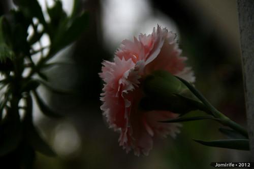 Flor cor-de-rosa / Pink flower