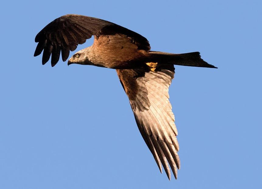 imperial-eagle-2555960_960_720.jpg