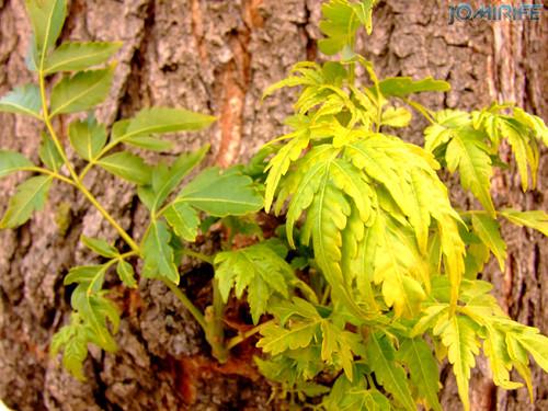 Novo ramo a crescer num tronco [en] New branch growing on a trea log
