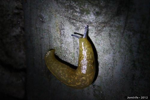 Lesma / Slug (81)