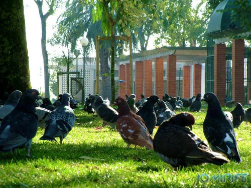 Jardim Municipal da Figueira da Foz (3) Pombas [EN] Municipal Garden of Figueira da Foz - Doves