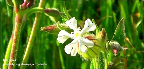 .Flor do Campo