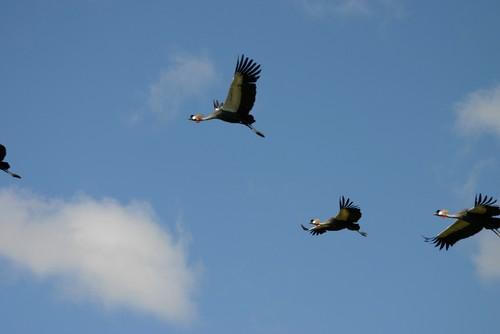Grey Crowned Cranes_RS.jpg