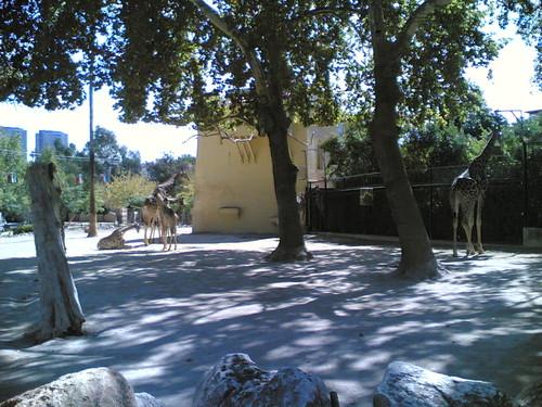 Girafas - Giraffes