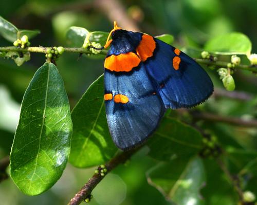Egybolis vaillantina - African Peach Moth.jpg