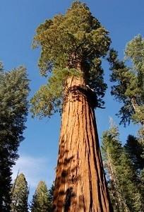 Sequoia Hyperion.jpg