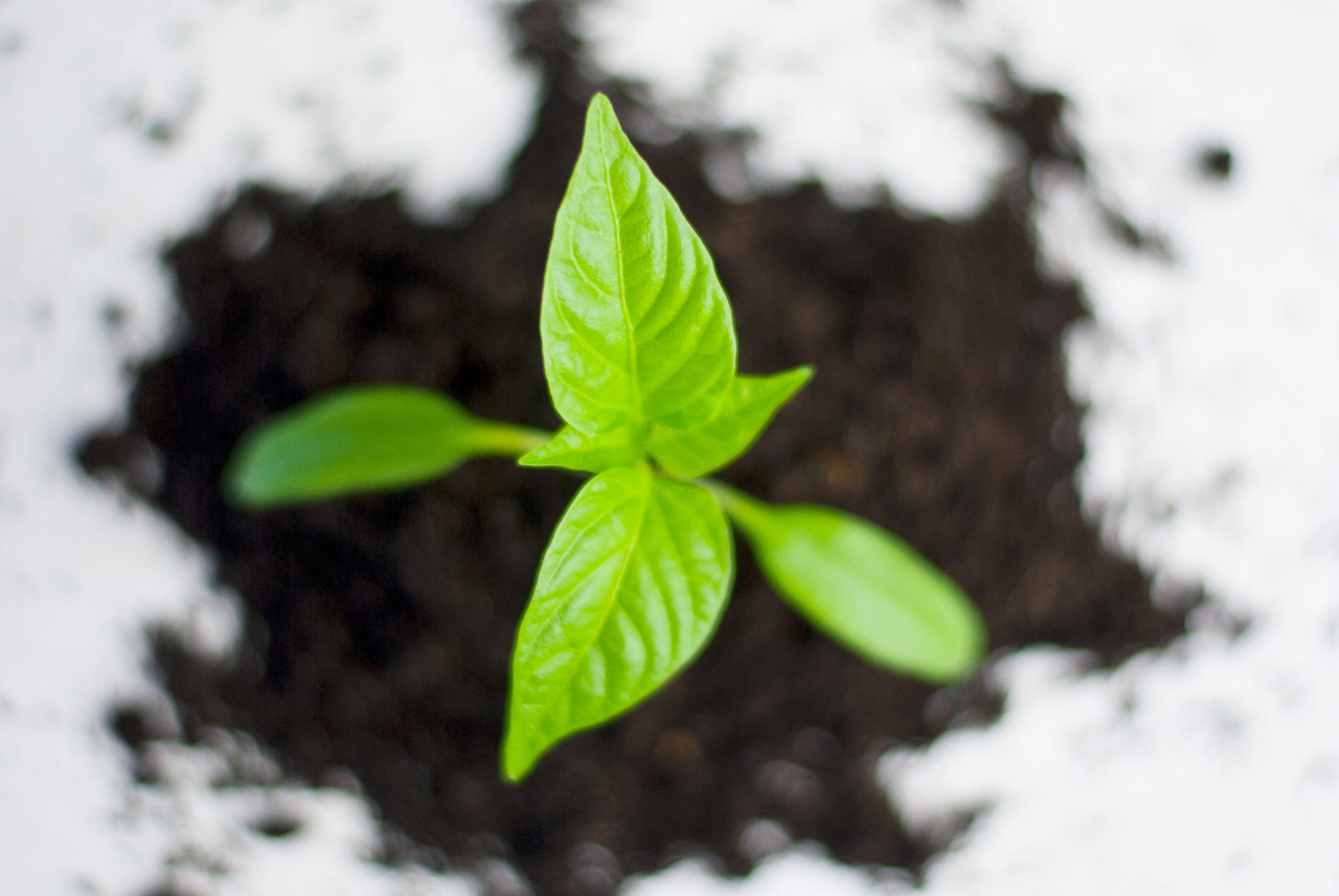 plant-paprika-pepper-grow-82728.jpeg