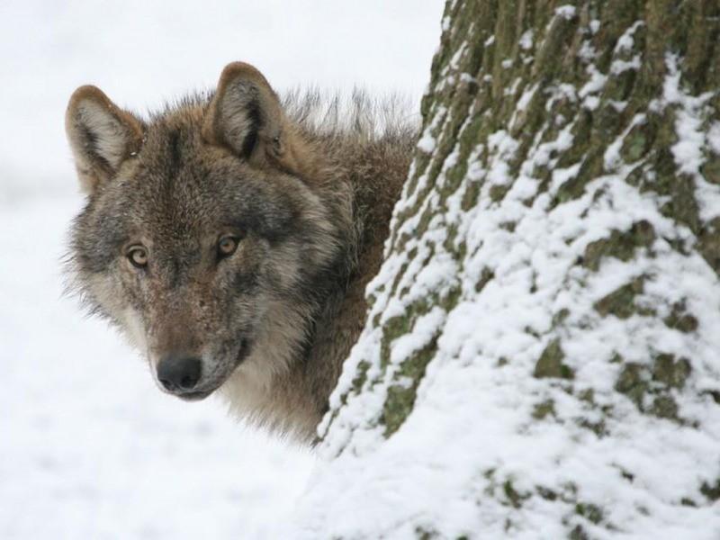 wolfxa.jpg