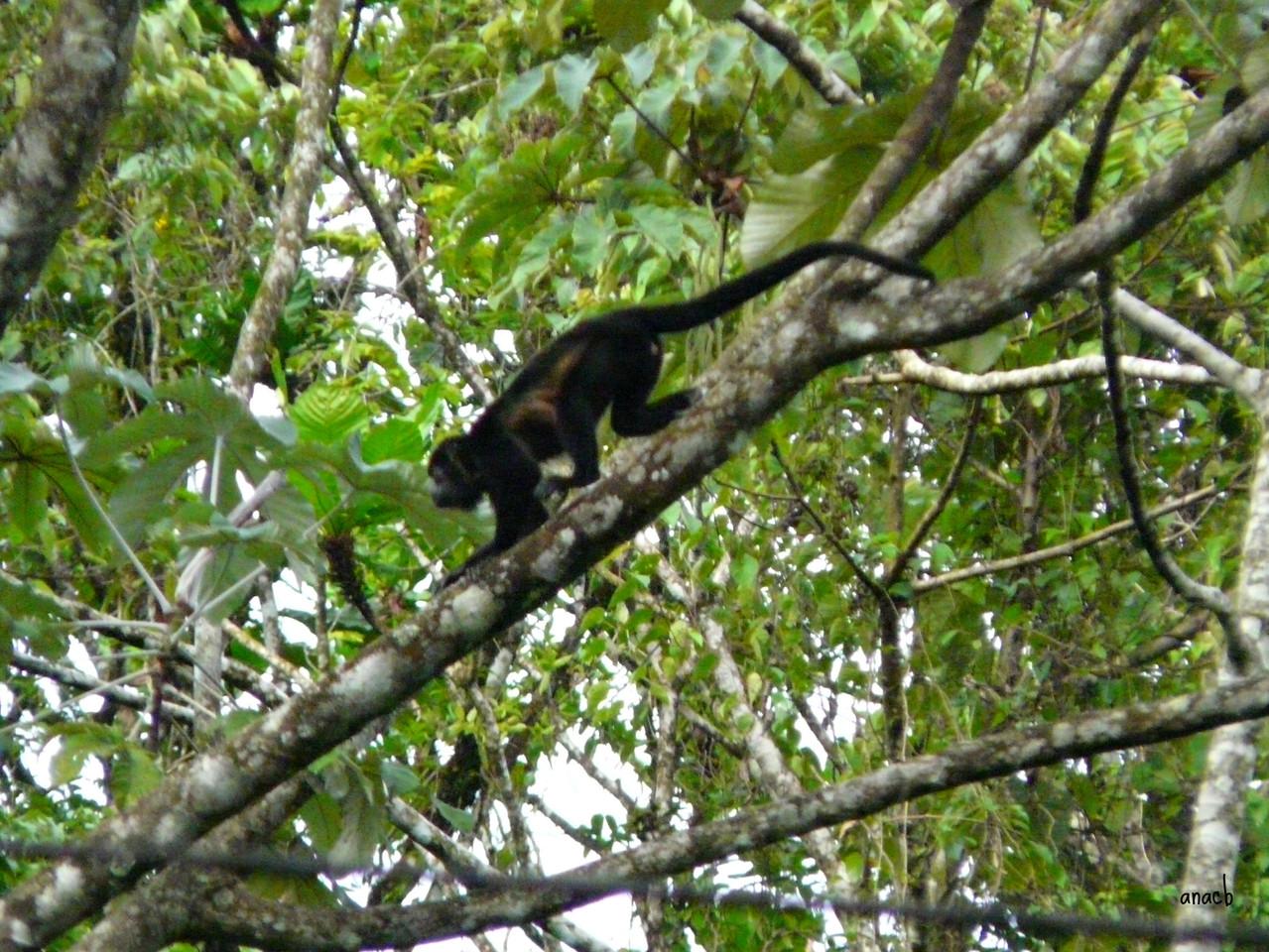 Parque Nacional Vulcão Arenal-macaco uivador (2).