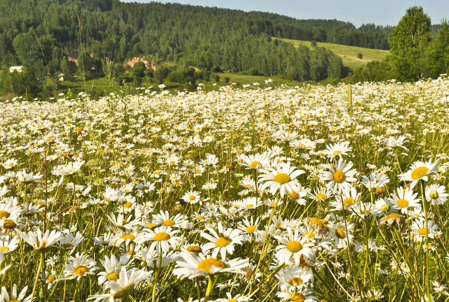 field_of_daisies_by_tumana_stock-d57bysy.jpg