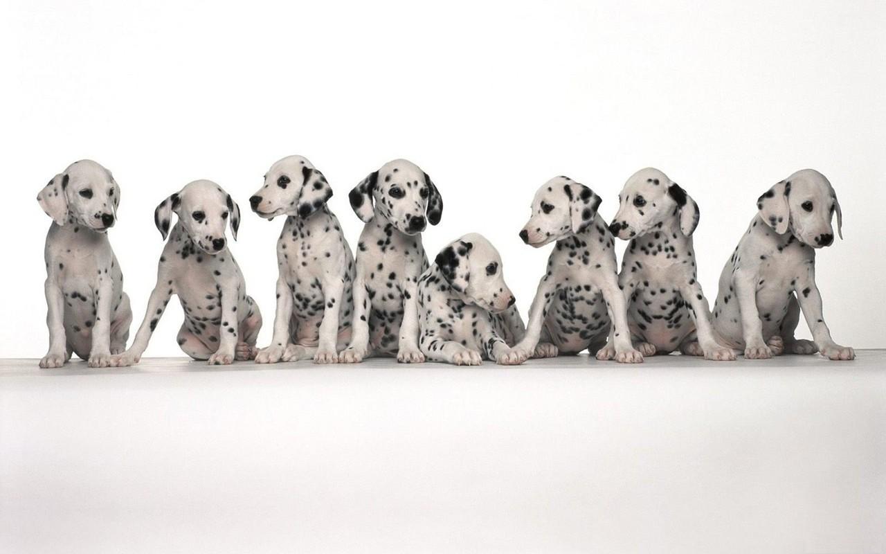 dálmatas dalmations wallpaper imagem de fundo cão cachorro chien