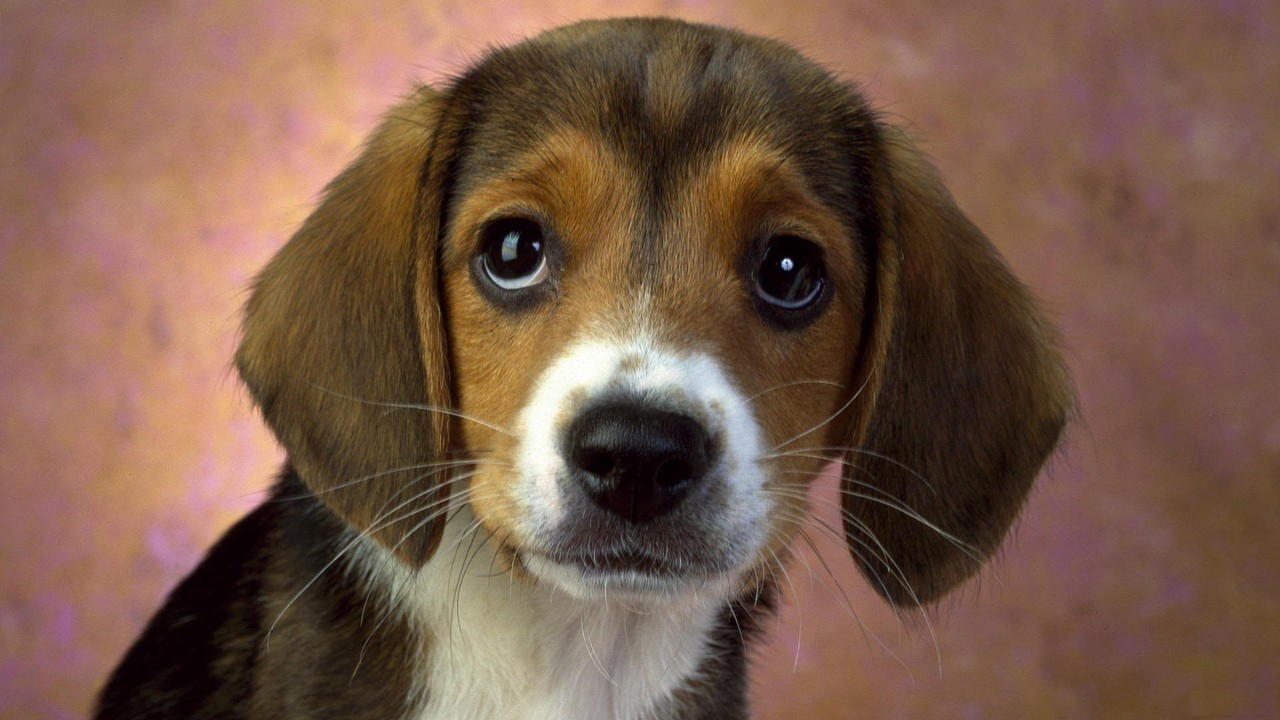 beagle cão wallpaper imagem de fundo cachorros puppy eyes