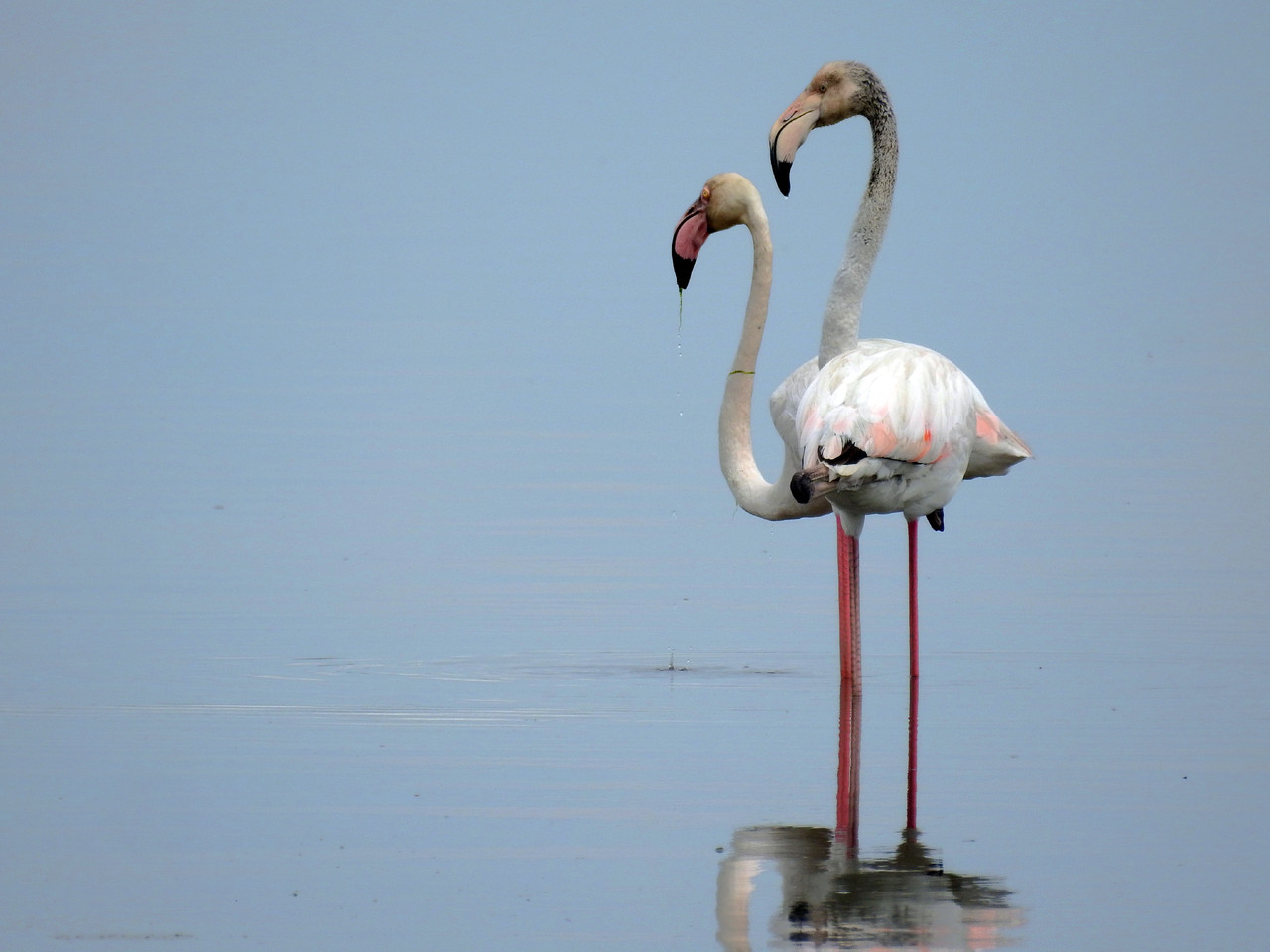 Flamingo-rosado (Phoenicopterus roseus) Moinho de
