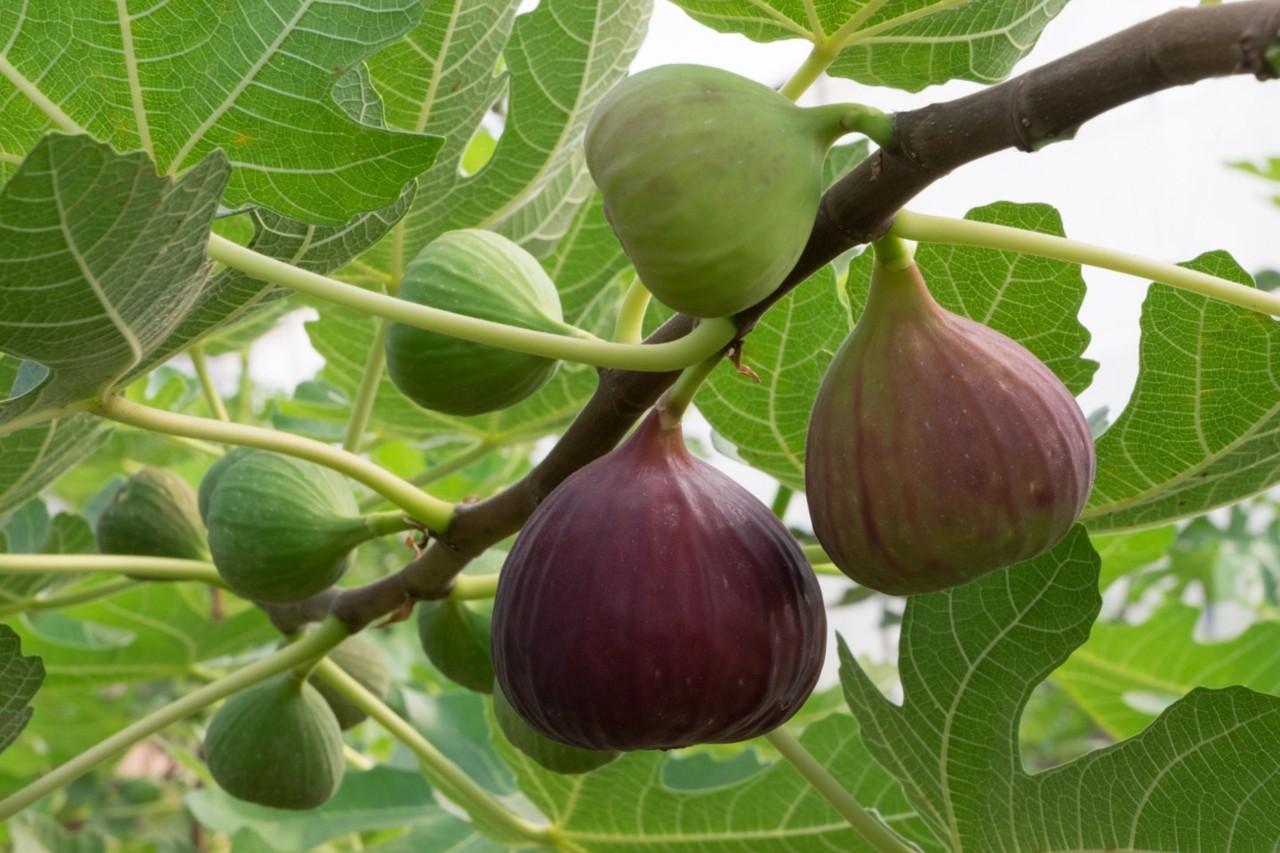 tmp_5258-Indoor-fig-tree-51023798869.jpg