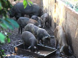 Porcos.jpg