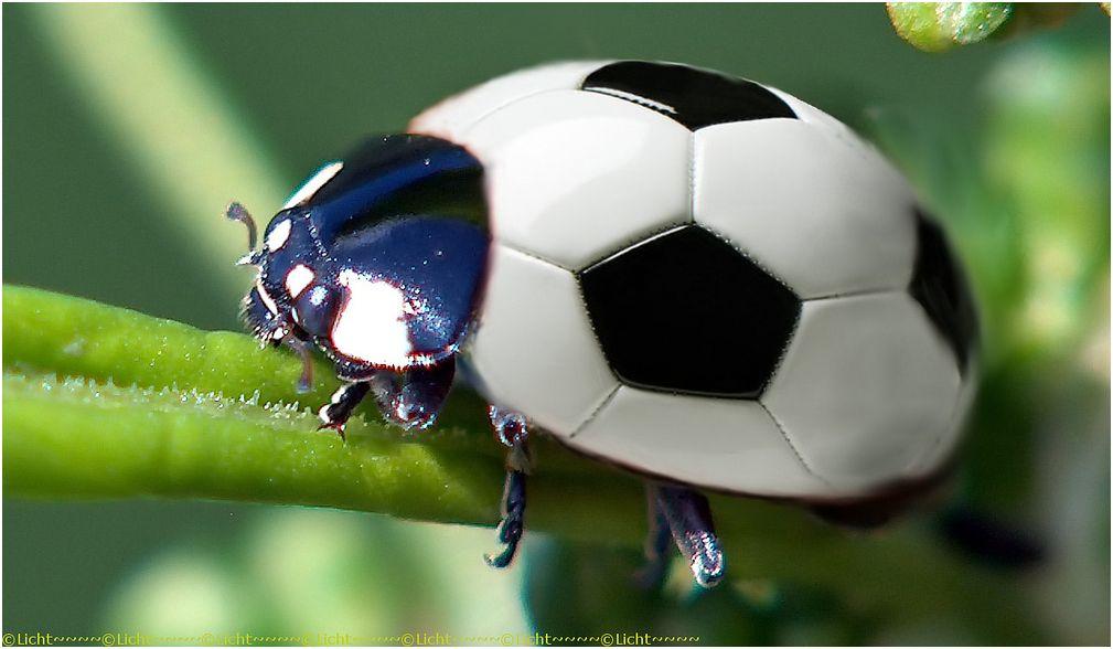 escaravelho sul-africano