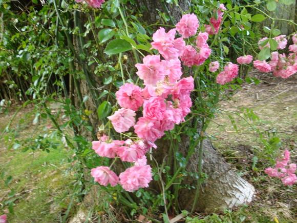 algumas rosas de meu jardim  Blumen